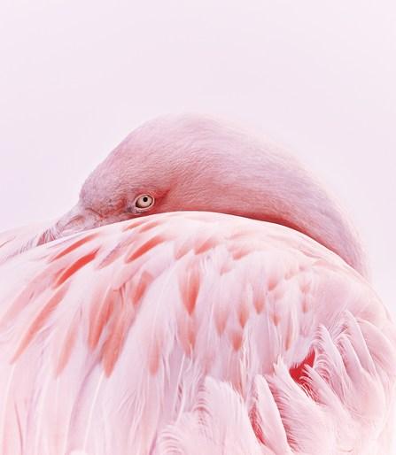 Flamingo1CA1.jpg -